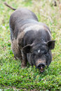 Black pig Royalty Free Stock Photo