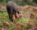 Black pig and pink pigglets in the meddow extremadura spain Stock Photos
