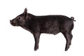 Black piggy isolated on white little the background Stock Photo