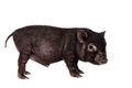 Black piggy isolated on white little the background Stock Image