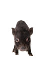 Black piggy isolated on white little the background Royalty Free Stock Images