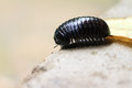 Black pill millipede Madagascar Royalty Free Stock Photo