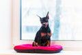 Black pincher dog near the window Stock Photo