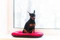 Black pincher dog near the window Royalty Free Stock Image