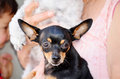 Black pincher dog portrait of a Stock Photography