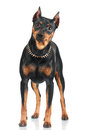 Black pincher dog on white background Stock Photo