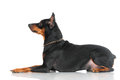 Black pincher dog on white background Stock Photography