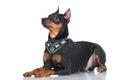 Black pincher dog on white background Royalty Free Stock Image