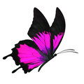 Black and pink butterfly beautiful flying isolated on white background Royalty Free Stock Image