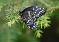 Black pipevine swallowtail butterfly with orange and white spots resting on a pine branch these butterflies fly from april until Royalty Free Stock Photos