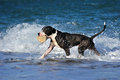 Black pitbull dog playing running on sea wave on the beach carries a stone in plays apport Stock Photo