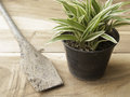 Black plastic pot of Chlorophytum comosum with spade on wood bac Royalty Free Stock Photo