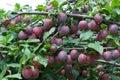 Black plum. Stock Photo