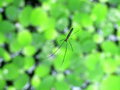 Black pond spider on green water fern in sunny day Royalty Free Stock Image