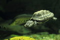 Black pond turtle Royalty Free Stock Photo