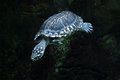 Black pond turtle (Geoclemys hamiltonii) Royalty Free Stock Photo
