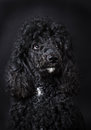 Black poodle close up of Royalty Free Stock Photography