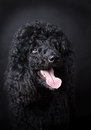 Black poodle close up of Stock Images
