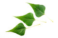 Black poplar leaves green on white background Stock Image