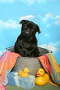 Black Pug in a bath tub Stock Photos