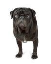 Black Pug Dog Over White Royalty Free Stock Photo