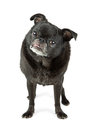 Black pug dog with tongue out full length body photo of color purebred standing on white sticking Royalty Free Stock Photo