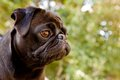 Black Pug profile Stock Photos