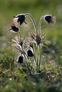 Black pulsatilla Royalty Free Stock Photo