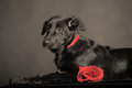 Black puppy on a black background Stock Photos