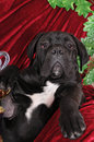 Black puppy cane corso portrait looking at camera and lying like a king Stock Photos