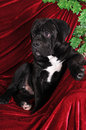 Black puppy cane corso portrait on red velvet background Royalty Free Stock Image