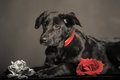 Black puppy on chemnit background Royalty Free Stock Photography