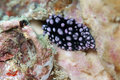 Black and purple spotted nudibranch Royalty Free Stock Images