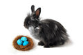 Black rabbit and easter nest in front of white background Stock Images