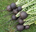 Black radish Royalty Free Stock Photo