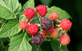 Black raspberries raspberry is the edible fruit of a multitude of plant species in the genus rubus of the rose family are Stock Photo