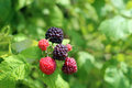 Black raspberry bush a closeup of ripening raspberries on a Royalty Free Stock Image