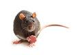 Black rat eating sausage on white background Stock Photography
