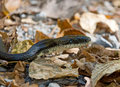 Black Rat Snake Royalty Free Stock Photo
