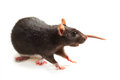 Black rat on white Stock Photos