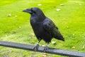 Black raven Royalty Free Stock Photography