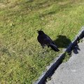 Black Raven and Meadow in Switzerland Royalty Free Stock Photo