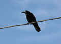 Black raven on cable over blue sky Stock Photos