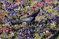 Black Raven on a Flower Bed in Switzerland Royalty Free Stock Photo