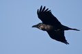 Black raven flying in a blue sky clear Stock Image