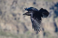 Black raven flying through the canyon a lone Stock Photos