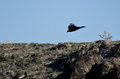 Black raven flying into the canyon low and Stock Photos
