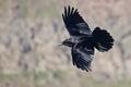Black Raven Flying Through the Canyon