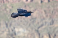 Black raven flying through the canyon snake river Stock Photo