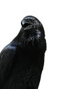 Black raven isolated on white background from the tower of london london uk Royalty Free Stock Images